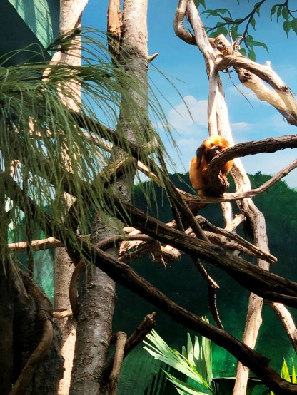 Golden Lion Tamarin sad