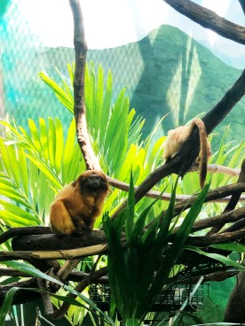 Two of the Golden Lion Tamarin Family