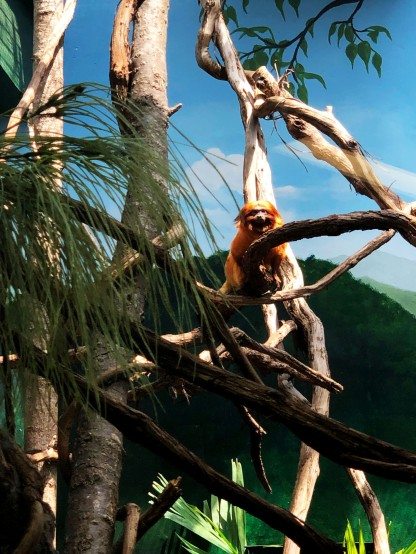 Golden Lion Tamarin angry